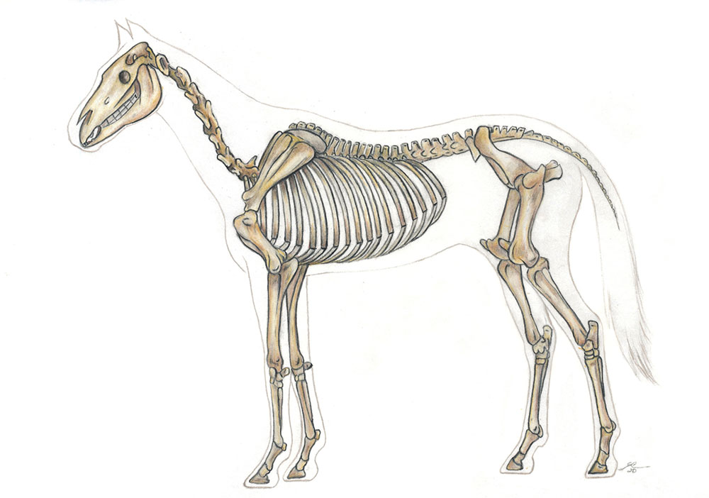 Horse anatomy drawing